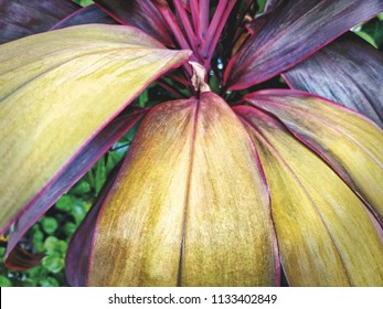 Close-up Plant with Yellow and Pink Leaves