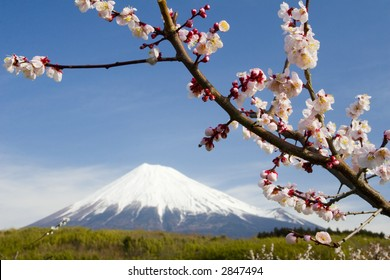 Close-up of Plum blossoms with a dreamy Mt. Fuji in the background