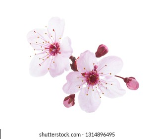 Close-up  of Plum blossoms isolated on white background.