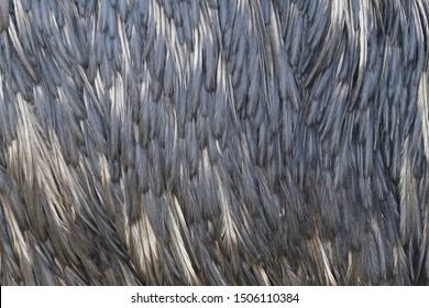 Closeup of plumage feather of emu (Dromaius novaehollandiae). The second-largest living bird. Endemic animal from Australia. Plumage feather pattern. Habitat Australia.