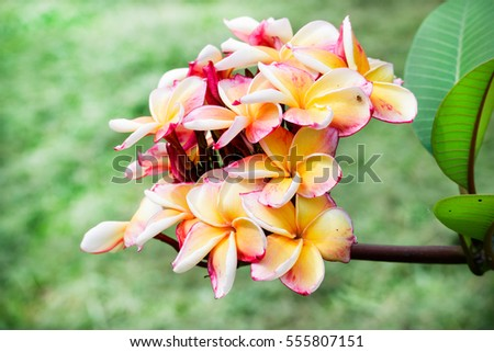 fff35dcbd Closeup plumeria bouquet. The flower Meaning of Charm, Grace, New Life or  Birth