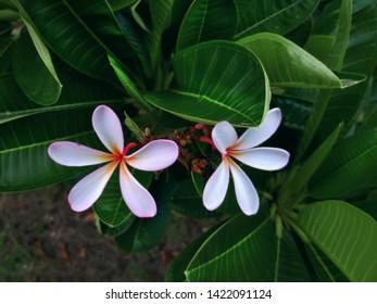 Close-up Plumeria Flower Petals with Selective Focus