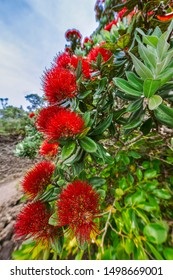Close-up of Pohutukawa Tree in bloom - Metrosideros excelsa in New Zealand