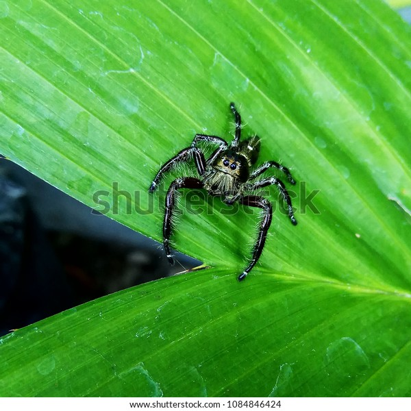 Closeup of Poisonous Spider in Zalacca Leaves