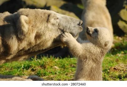 close-up of a polar bear and her cute cub