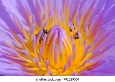closeup pollen of purple lotus with bee
