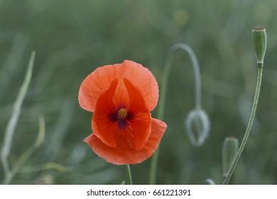 closeup of poppy blossom