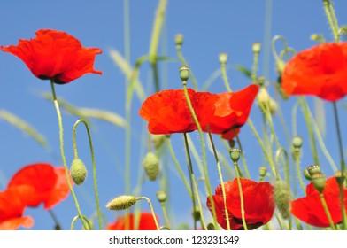 Closeup of a poppy in a field