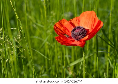 Closeup of poppy flower with honeybee collecting nectar. Red corn poppy flower in the grass