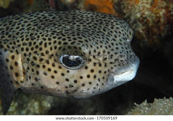 Closeup of a Porcupinefish (Diodon hystrix) - Bonaire