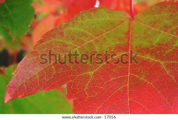 closeup of a portion of a leaf almost all red