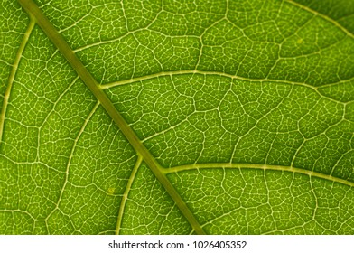 Closeup of portion of leaf backlit by the sun