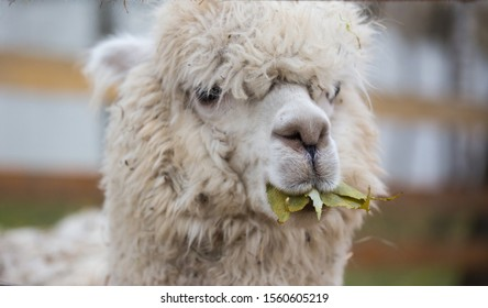 Closeup portrait of an adorable cute white curly shagged female alpaca with with an amusing headdress chewing a dry leaves with wonky teeth and looking at the camera. Vicugna pacos.