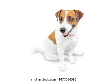 Close-up portrait of adorable happy smailing pet jack russel terrier sitting and looking at left side. Dog isolated on white background.