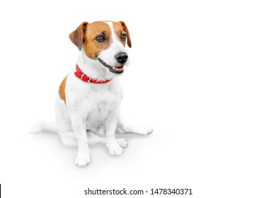 Close-up portrait of adorable happy smailing pet jack russel terrier sitting and looking at right side. Dog isolated on white background with copy space