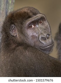 Closeup portrait of an adult female western lowland gorilla leaning against a tree