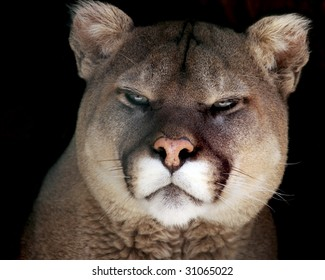 A close-up portrait of an adult male cougar (puma concolor)