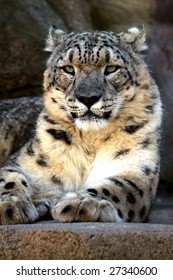 A close-up portrait of an adult male snow leopard (Uncia uncia or Panthera uncia)