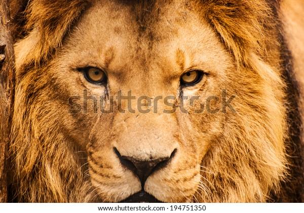 Closeup portrait of an African Lion