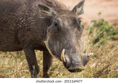 Close-up portrait of African warthog Phacochoerus africanus, Kruger National Park, South Africa