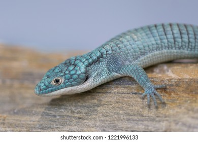 Closeup portrait of an Alligator lizard (from Mexico)