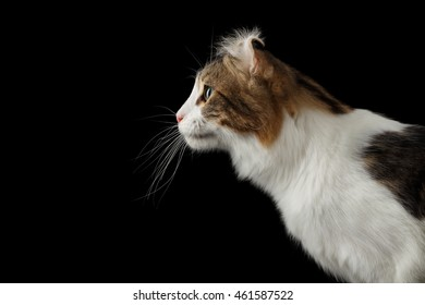 Closeup Portrait of American Curl Cat Breed with twisted Ears, on Black Isolated background, Profile view