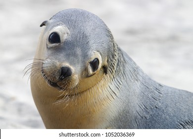 close-up portrait of a Australian sea lion pup, Seal Bay Conservation Park, kangaroo   island, australia