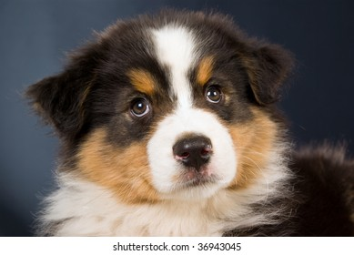 Closeup portrait of Australian Shepherd on black background