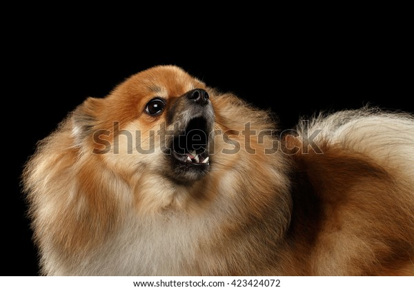 Closeup Portrait of Barking Angry Red Pomeranian Spitz Dog  isolated on Black Background, Front view