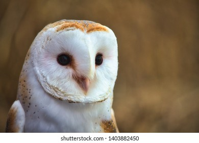 Closeup portrait of a barn owl (Tyto alba) with a blurred background in a forest