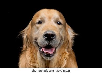 Closeup portrait of beautiful adult purebred labrador dog over black background