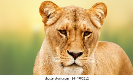 A closeup portrait of a beautiful African lioness, Lioness Profile Close Up, isolated on blur background