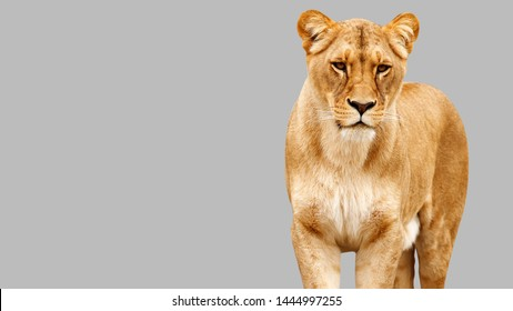 A closeup portrait of a beautiful African lioness, Lioness Profile Close Up, isolated on grey background