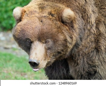 Closeup Portrait of a Beautiful Furry Teddy Bear Look Alike, Grizzly or Brown Bear