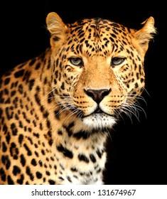 Close-up portrait of beautiful leopard