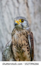 Close-up portrait of beautiful Lesser Kestrel, Latin Falco Naumanni, posing outside, blurred background in moody day. Small bird of Prey