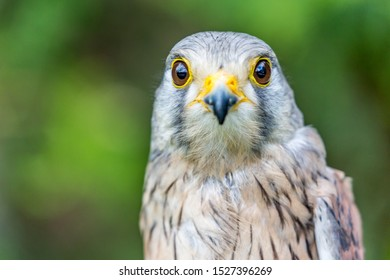 Close-up portrait of beautiful Lesser Kestrel, Latin Falco Naumanni, posing outside, blurred background in moody day. Small bird of Prey. Looking straight