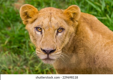 closeup portrait of beautiful lioness against green grass background