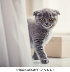 closeup portrait of beautiful scottish fold kitten