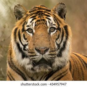 Closeup portrait of a beautiful siberian tiger