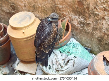 Closeup portrait of a beautiful, spotted Indian black kite bird, sitting on some abandoned household goods.
