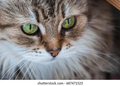 Closeup portrait of a beautiful tabby Siberian cat with mesmerizing green eyes