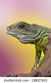 Close-up portrait of beautiful water dragon lizard reptile sitting on a branch on bright yellow pink background