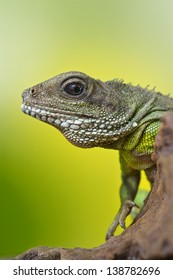 Close-up portrait of beautiful water dragon lizard reptile sitting on a branch on bright green background