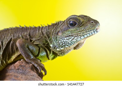 Close-up portrait of beautiful water dragon lizard reptile sitting on a branch on bright yellow background