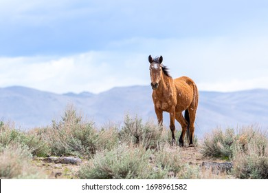 Close-up portrait of a beautiful Wild Mustang Horse in the Nevada desert.