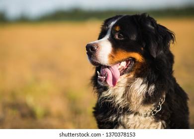 closeup portrait bernese mountain dog 260nw