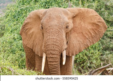 Closeup portrait of a big African elephant with ears open with green bushes in the background at Samburu National Reserve, Kenya