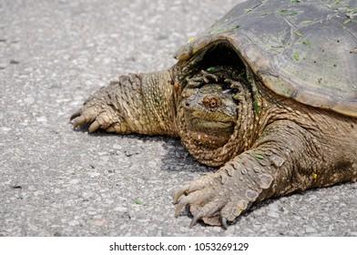 Closeup portrait of a big turtle crossing an asphalt road. Ontario, Canada