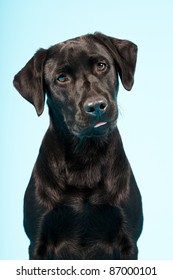 Closeup portrait of black labrador isolated on blue background